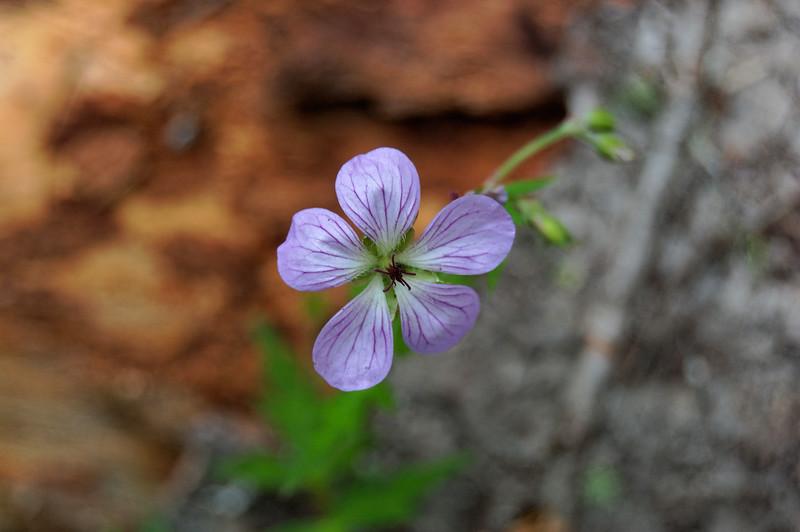 FlowerHeliptrope