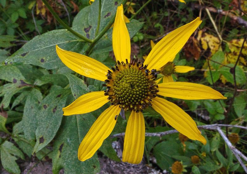 FlowerYellowCE