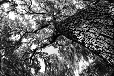 Looking up at a Live Oak in Saint Mary's.