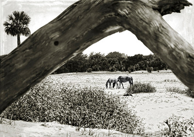 First sighting horses at Cumberland Island. De-Stressed Black & White.
