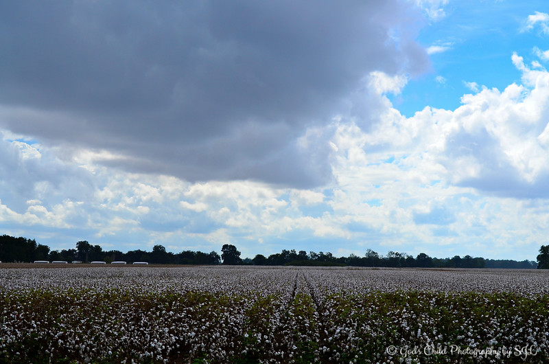 """STORM CLOUDS AND COTTON FIELD""<br /> <br /> A field near Cow Pen Restaurant<br /> Lake Village, Arkansas <br /> <br /> (photo taken 10/9/2014)<br /> <br /> My Homepage: <a href=""http://www.Godschild.smugmug.com"">http://www.Godschild.smugmug.com</a>"