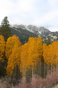 Aspens - east side Sierras off of Highway 120