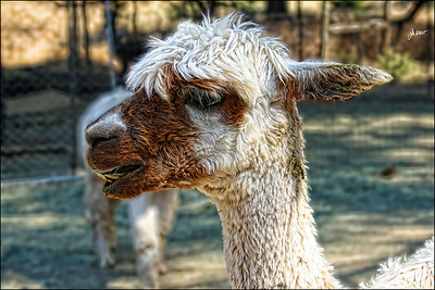 Retiredice Alpacas, Amador County