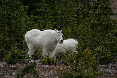 Mountain Goat and kid, Ice Fields Highway