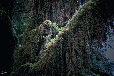 Hoh Rain Forest.  Ferns grow anywhere they can get a foot-hold.