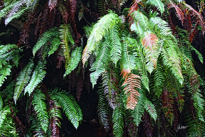 Hoh Rain Forest - ferns take over wherever they can.