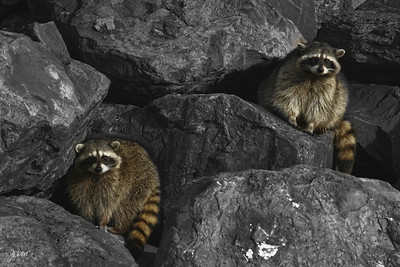 "Raccoons hanging out ""on the rocks"" in Westport, Wa"