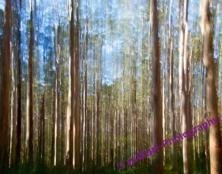 'Magic Of Boranup Forest'  South West Western Australia
