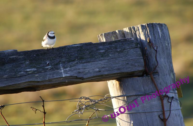 'Early Bird'  Swings & Roundabouts Winery, South West Western Australia