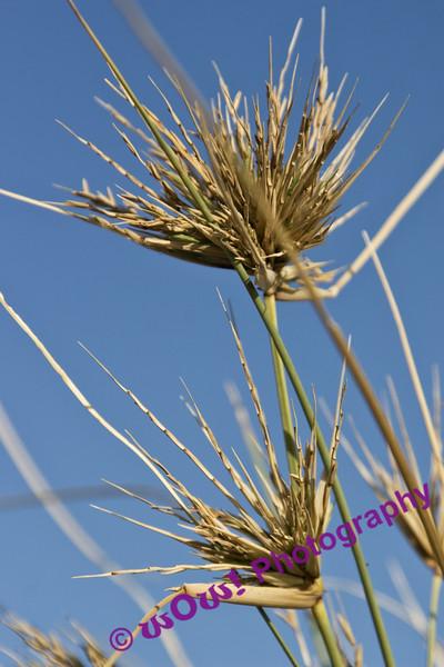 'Coastal Grass'  Smiths Beach, South West Western Australia