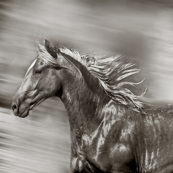 Two year Peruvian colt running with his friend.  These are truly beautiful horses from a ranch north of Santa Fe, NM