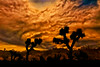Coming storm at Joshua Tree National Park.  I composited the silhouettes of the Joshua trees into the background.