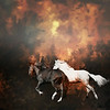 Composite of Peruvian Horses put on burning forest background.