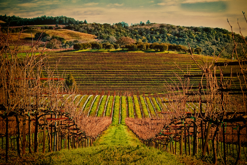 """""""Fall"""" version of geometric vineyard taken in Napa, Jan 2010"""