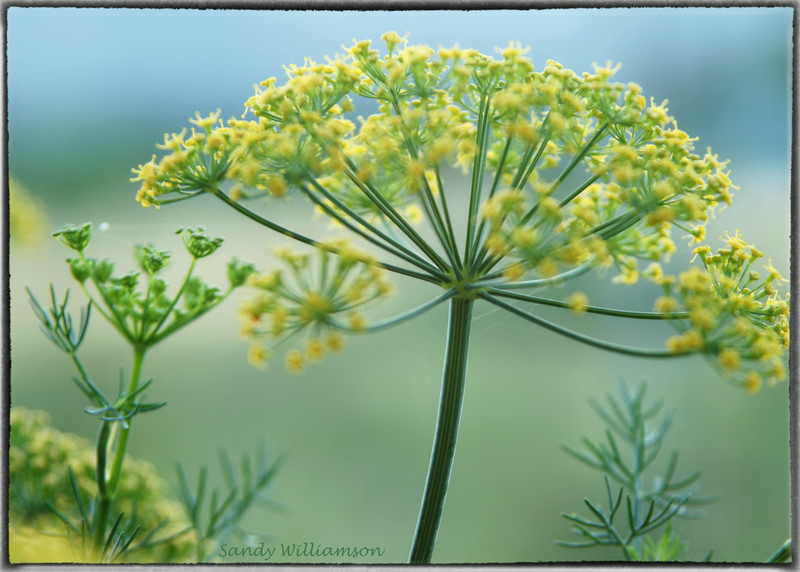 Dill from our summer gareen