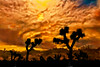 Composited photograph from Joshua Tree stormy skies and silhouettes of Joshua trees taken in the early morning