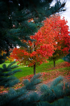 Blue Spruce and Red Maple