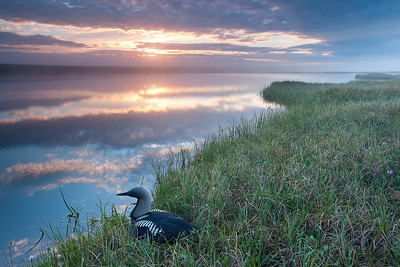 An Arctic Loon takes in the scenery on the Artic Slope in the wee hours of the morning. Northern Yukon, Canada.