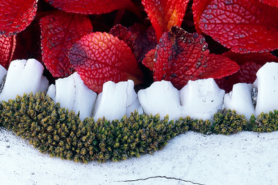 The bright red bear berry bushes and a white caribou jaw, Yukon, Canada, Macro