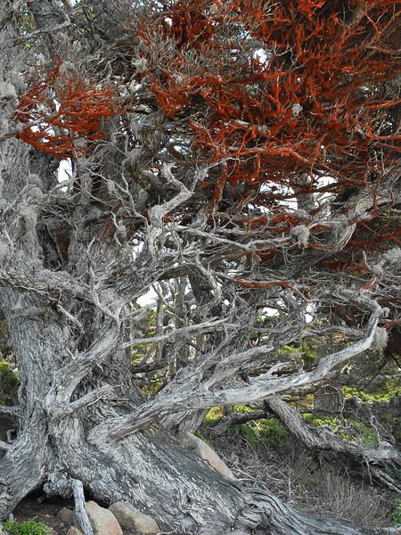 Monterey cypress and Trentepholia