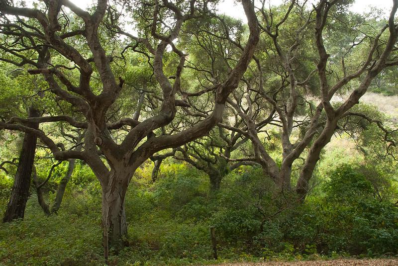 Live oaks at Del Mesa
