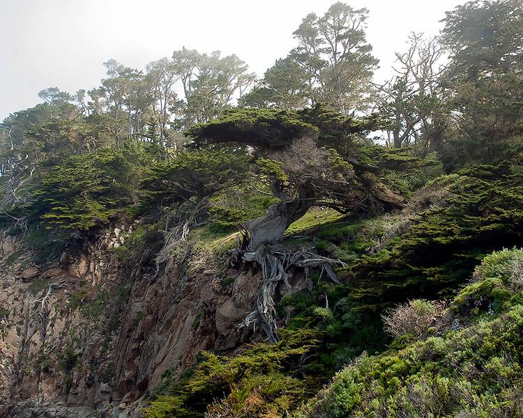 The Old Veteran Cypress