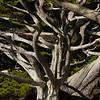 Weston Cypress