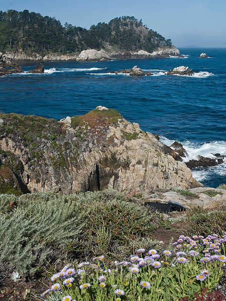 Coastal sage and Seaside daisies