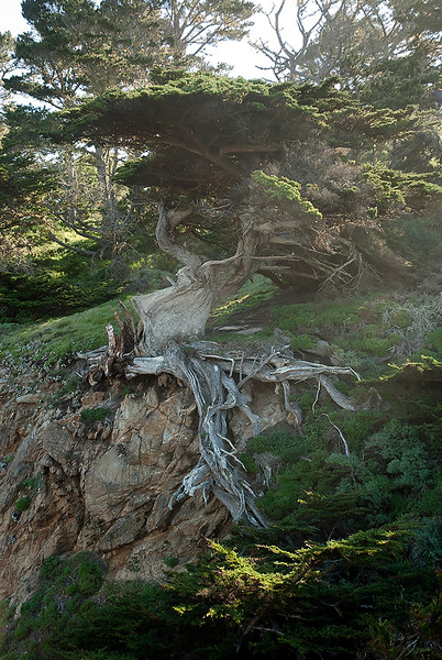 Old Veteran Cypress