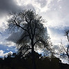Cottonwood and cloud halo