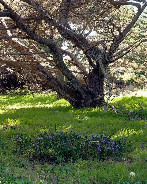 Monterey cypress and Douglas iris