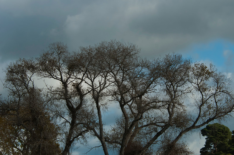 Cottonwoods and Clouds