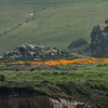 California poppies at Ixchenta Point