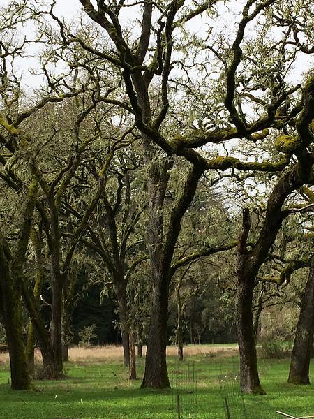 Enchanted oak grove