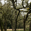 Enchanted oak grove