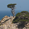 Monterey Cypress at Headland Cove