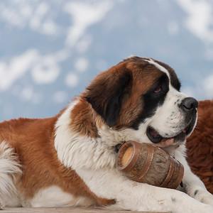 San Bernhardiner: die bekannteste Schweizer Hunderasse