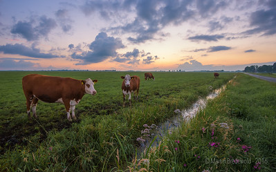 Koeien - Cows