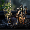 Brede stekelvaren/Broad Buckler-fern