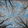 Boomtoppen met rijp/Treetops with hoar-frost