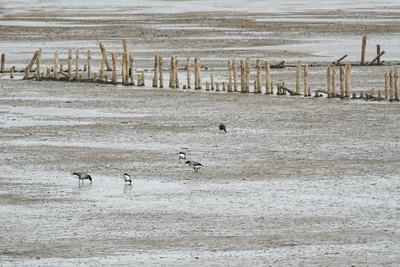 Fugle ved Rømø