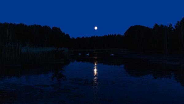 Knoppsvane / Mute Swan Rosenkällsjön, Sverige 21.7.2021 Canon EOS R5 + RF 24-105mm F4 L IS USM @ 40 mm