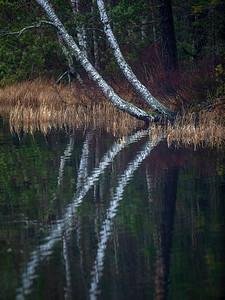 Bjørk speiler seg i innsjøen Mørkvannet, Asker 5.12.2020 Canon EOS 5D Mark IV + EF500mm f/4L IS II USM