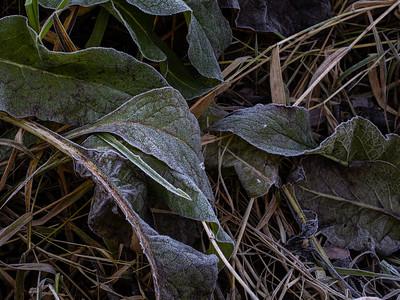 Frosne planter / Frozen plants Linnesstranda, Lier 18.10.2020 Canon 5D Mark IV + EF 100mm f/2.8L Macro IS USM