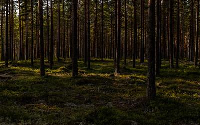 Furuskog / Pine-wood Dalane, Sverige 18.7.2021 Canon EOS R5 + RF 24-105mm F4 L IS USM @ 47 mm
