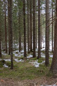 Granskog / Spruce forest Rødsetra, Asker 6.3.2021 Canon EOS R5 + RF 24-105mm F4 L IS USM @ 47 mm