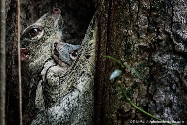 MALAISIE. ILE DE LANGKAWI. L HOTEL DATAI. Un Lémurien volant ou colugo avec son bébé