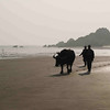 As sunset approaches, oxen are driven out to the clam beds to begin work.