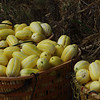 Baskets of yellow melons.