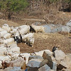 In mid-winter, a herdsman moves his goats through a rock quary to forage in the hills.